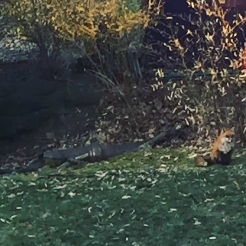 A mama fox and her five kits have moved into my backyard and I'm overjoyed!
