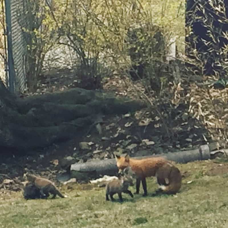 More fox sightings! And another video. :)