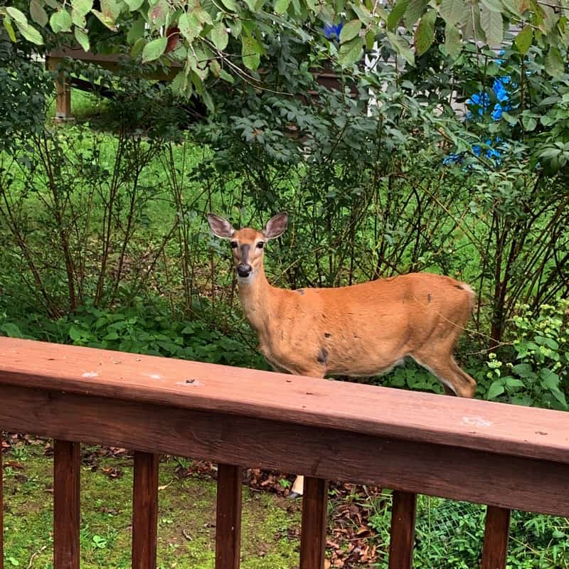 All the things that happened in the week ending September 15, 2019 including more editing, deer in my backyard, a Costco run, and I've started baking bread again!